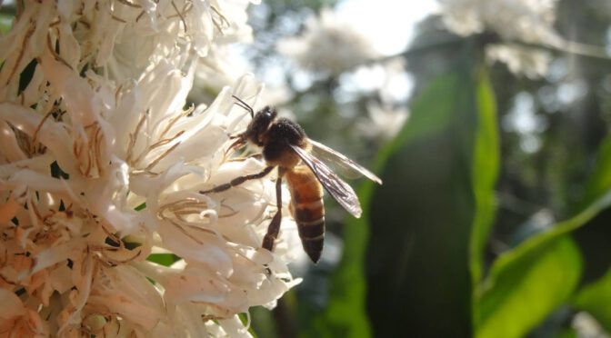 Co-production of pollination services in coffee plantations