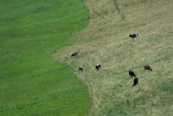 Kühe auf der Salhöhe