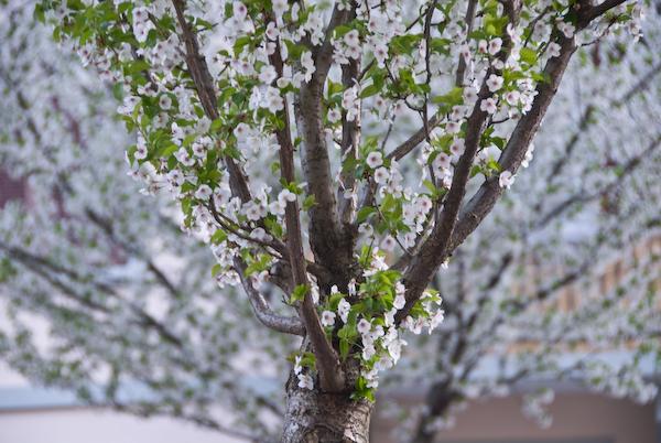 Frühlingsbäume an der Zurlindenstrasse