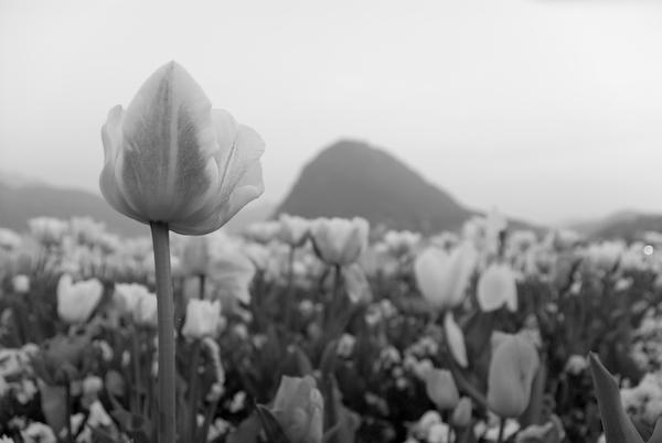 Tulpenmeer bei Lugano