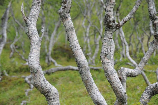 Bäume im Wald oberhalb von Bodø