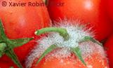 tomate_xavier_robin_flickr_teaser