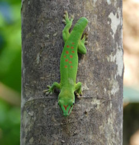 Gecko without tail